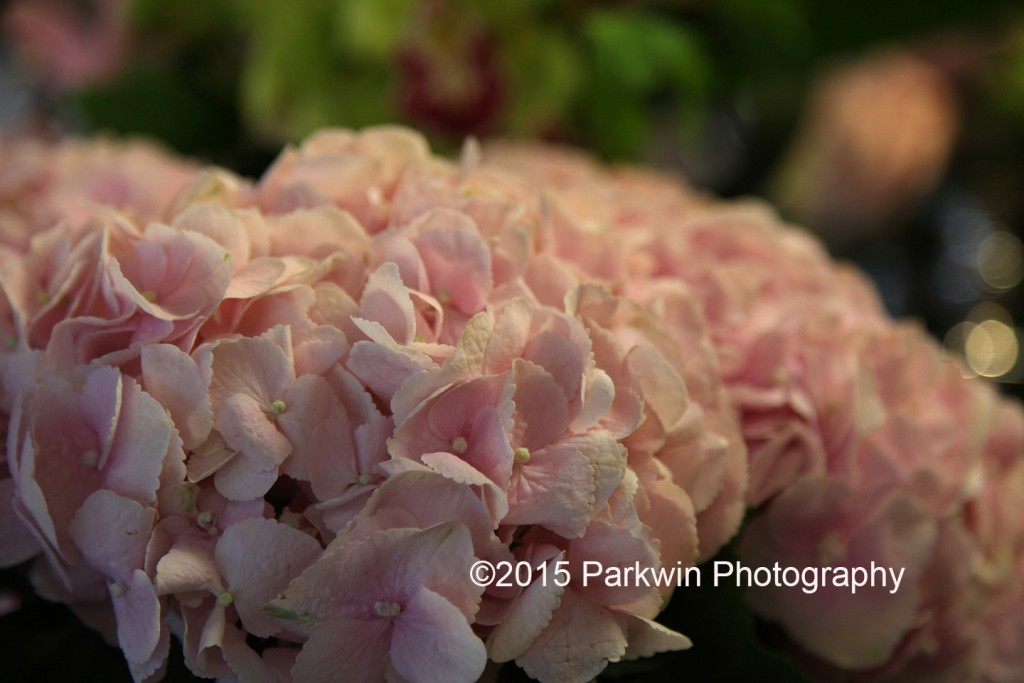 hydrangeas_parkwinphotography
