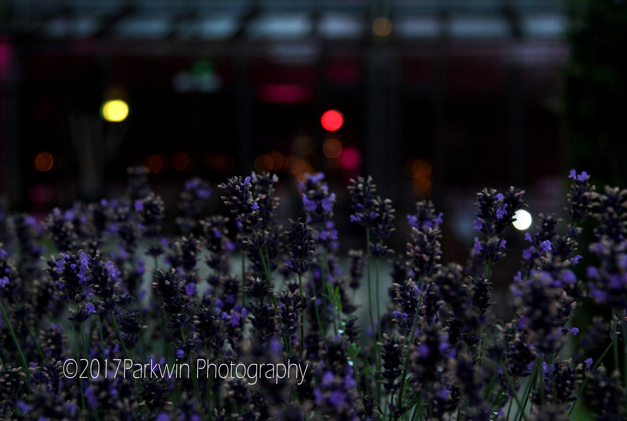 Evening photo of Lavender outside Pavilion at Fanhams Hall